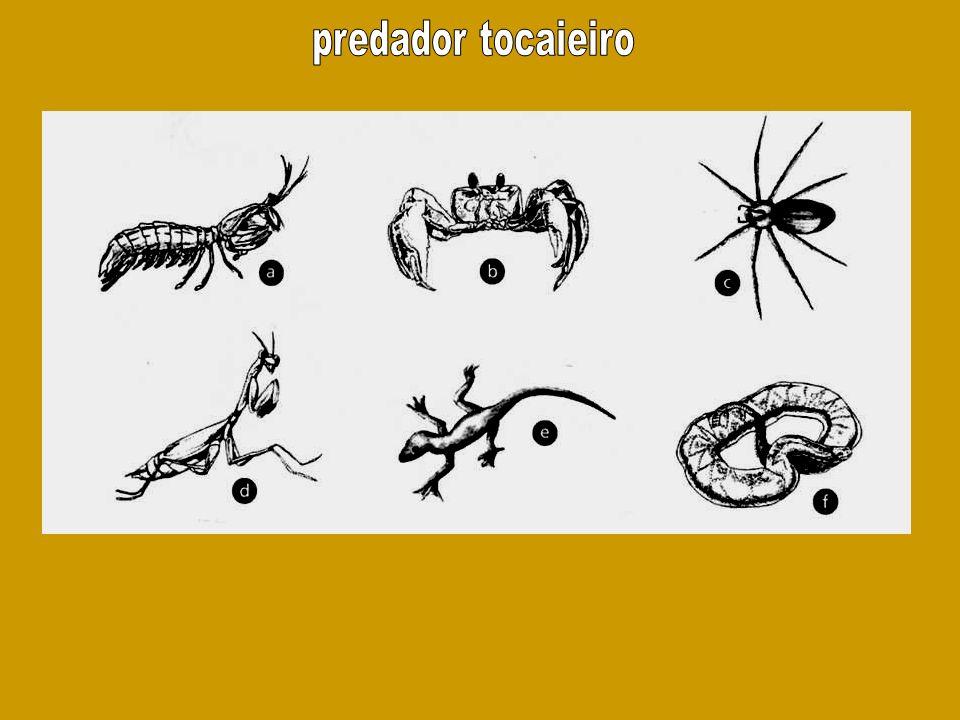 predador tocaieiro
