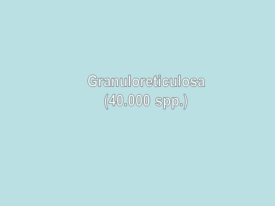 Granuloreticulosa (40.000 spp.)