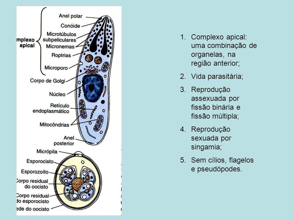 Complexo apical: uma combinação de organelas, na região anterior;
