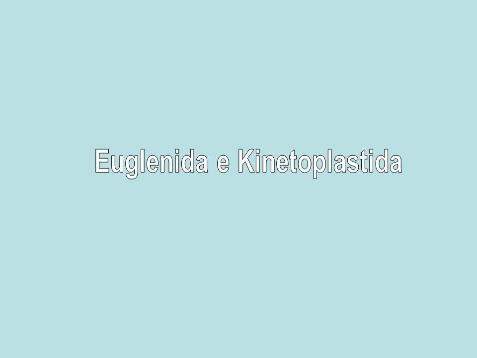 Euglenida e Kinetoplastida