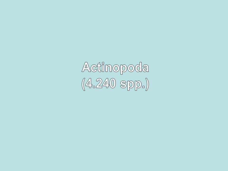 Actinopoda (4.240 spp.)