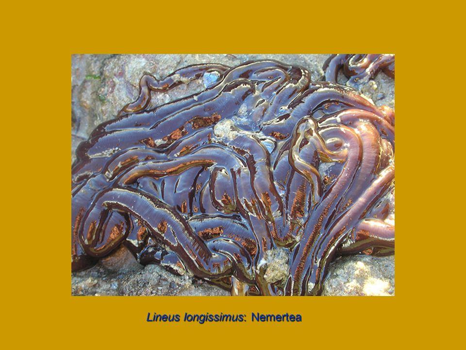 Lineus longissimus: Nemertea