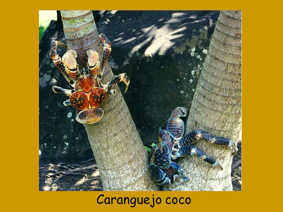 Caranguejo coco