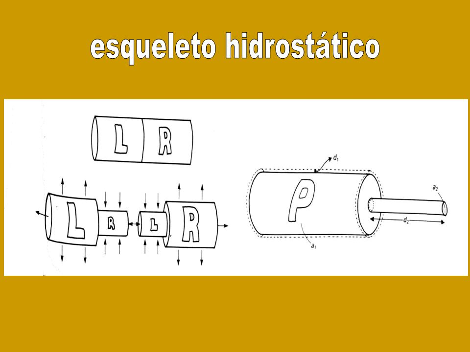 esqueleto hidrostático