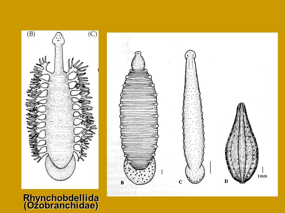 Rhynchobdellida (Ozobranchidae)