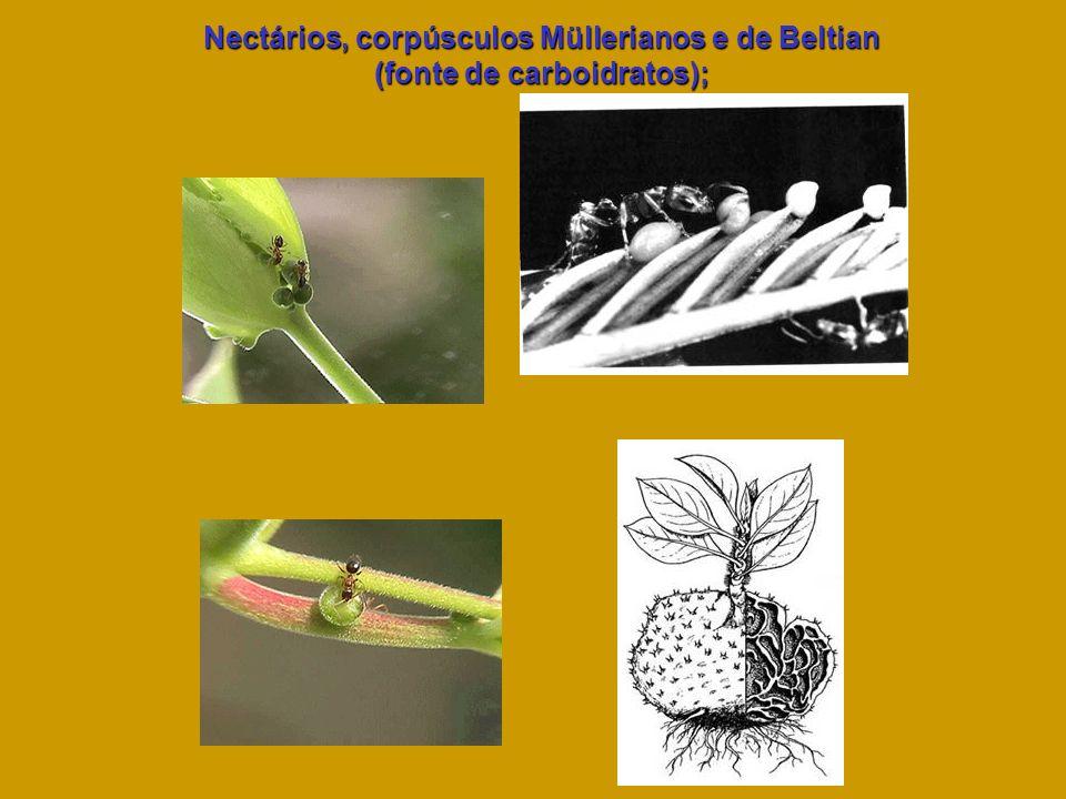 Nectários, corpúsculos Müllerianos e de Beltian (fonte de carboidratos);