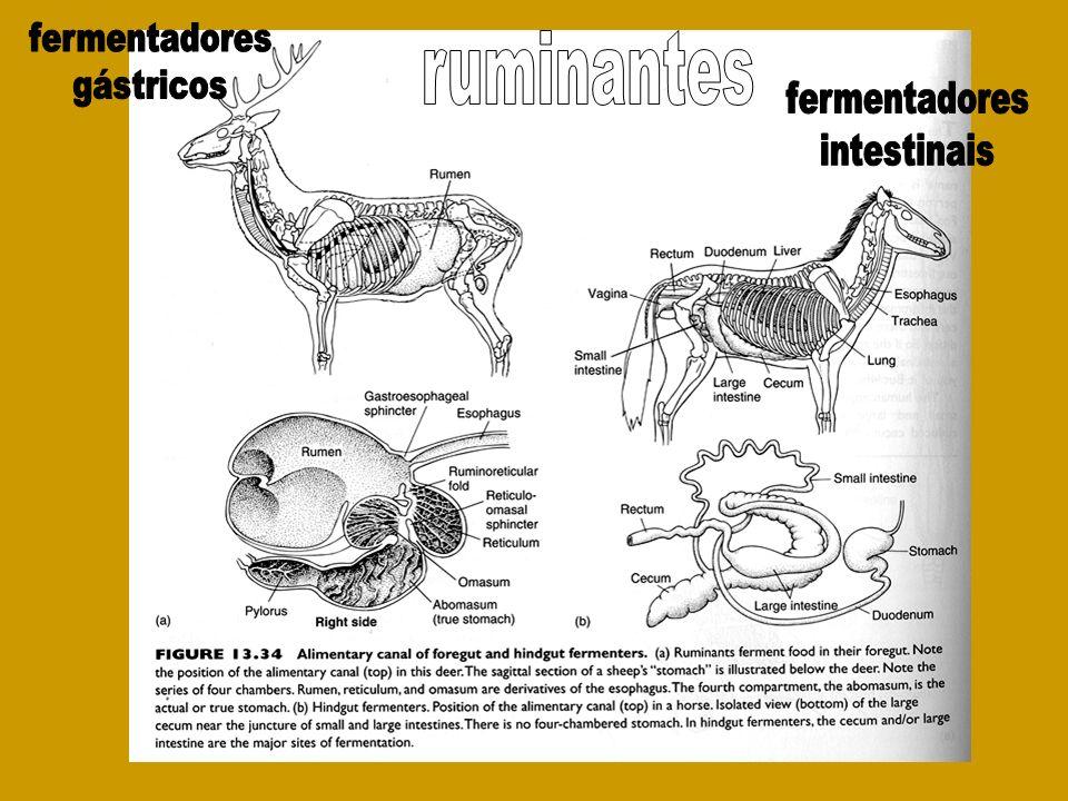 fermentadores gástricos ruminantes fermentadores intestinais
