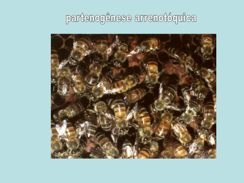 partenogênese arrenotóquica