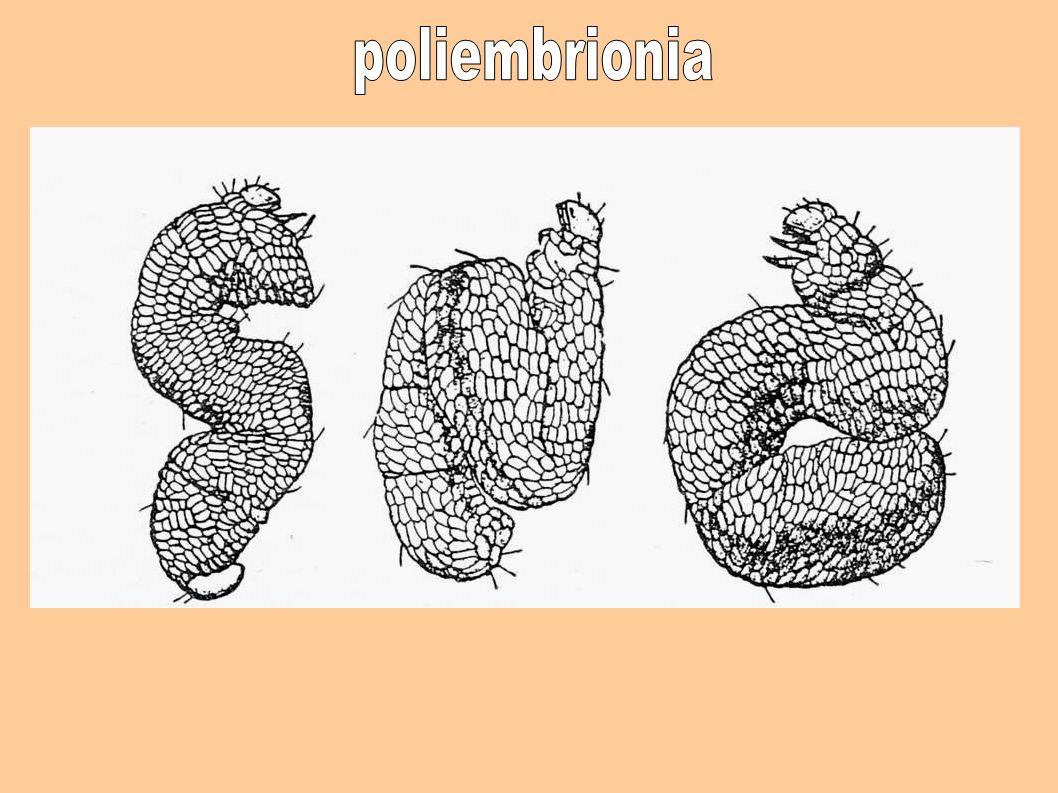 poliembrionia