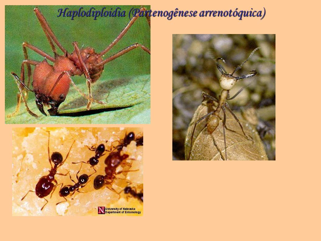 Haplodiploidia (Partenogênese arrenotóquica)