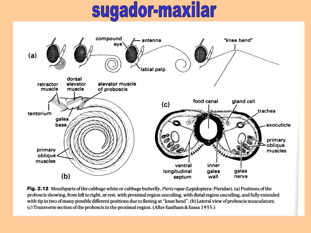 sugador-maxilar
