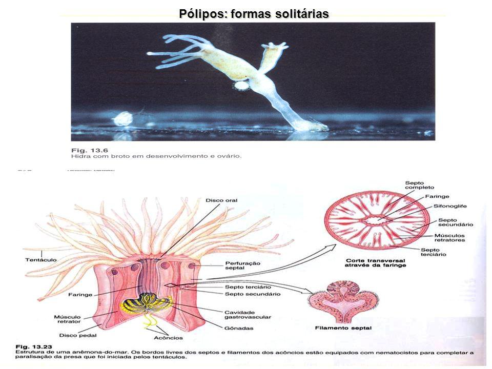 Pólipos: formas solitárias