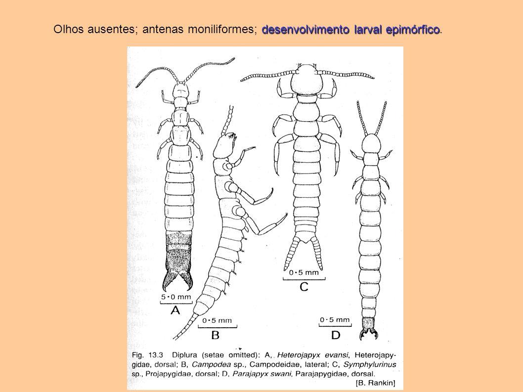 Olhos ausentes; antenas moniliformes; desenvolvimento larval epimórfico.