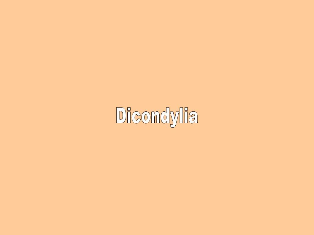 Dicondylia