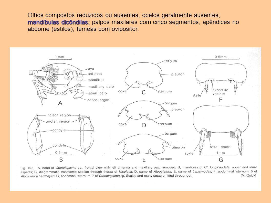 Olhos compostos reduzidos ou ausentes; ocelos geralmente ausentes; mandíbulas dicôndilas; palpos maxilares com cinco segmentos; apêndices no abdome (estilos); fêmeas com ovipositor.