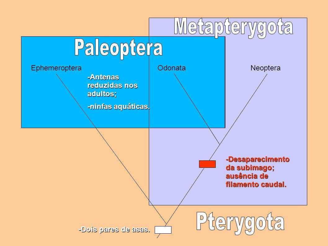 Pterygota Metapterygota Paleoptera Ephemeroptera Odonata Odonata