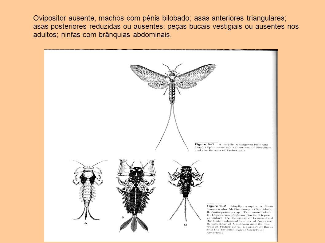 Ovipositor ausente, machos com pênis bilobado; asas anteriores triangulares; asas posteriores reduzidas ou ausentes; peças bucais vestigiais ou ausentes nos adultos; ninfas com brânquias abdominais.