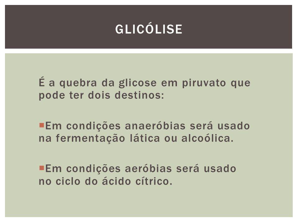 Glicólise É a quebra da glicose em piruvato que pode ter dois destinos: Em condições anaeróbias será usado na fermentação lática ou alcoólica.