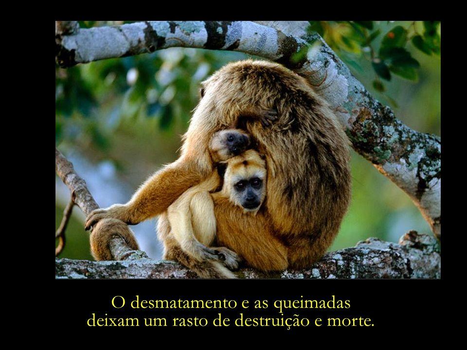 O desmatamento e as queimadas deixam um rasto de destruição e morte.