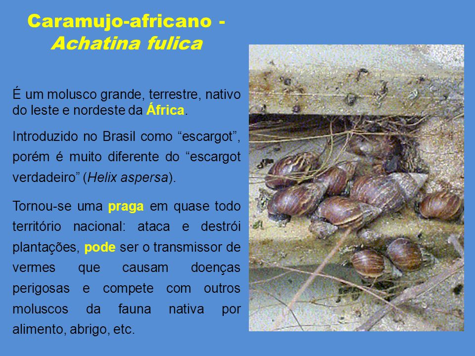 Caramujo-africano - Achatina fulica