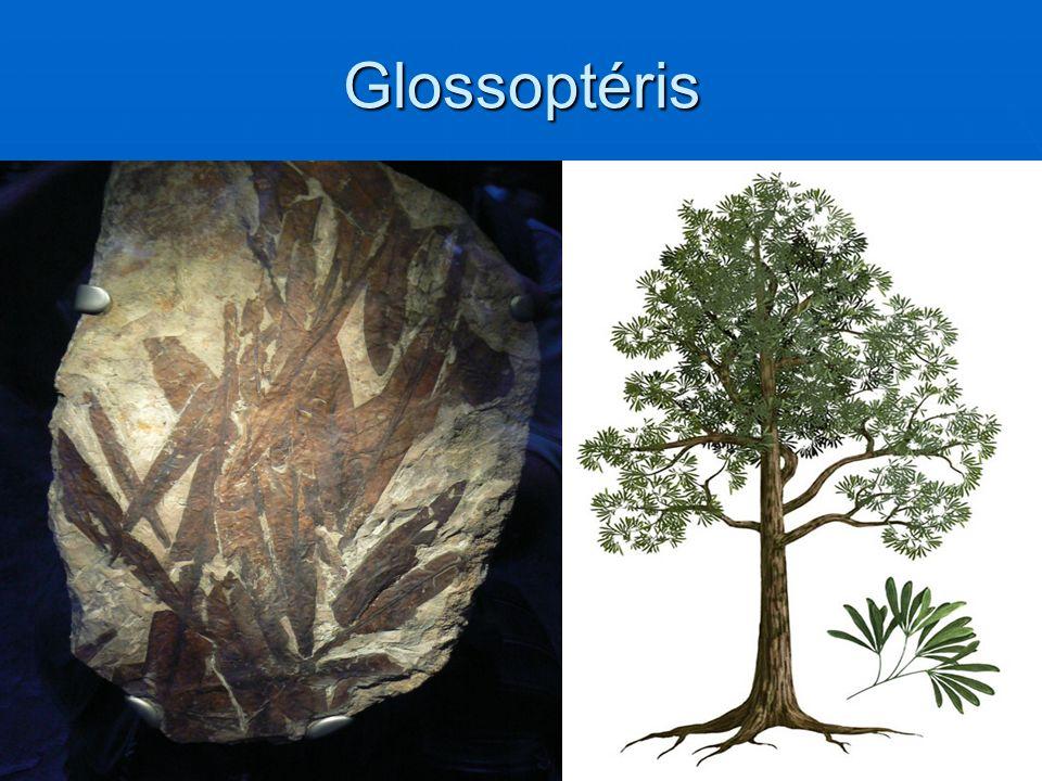 Glossoptéris