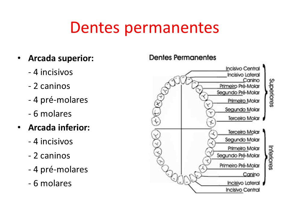 Dentes permanentes Arcada superior: - 4 incisivos - 2 caninos