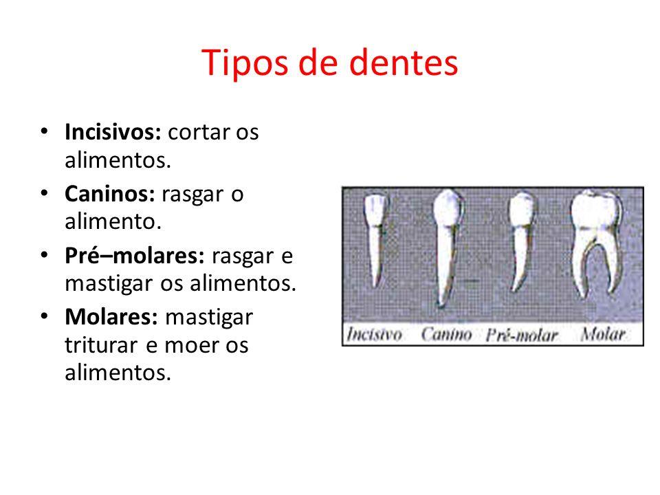 Tipos de dentes Incisivos: cortar os alimentos.