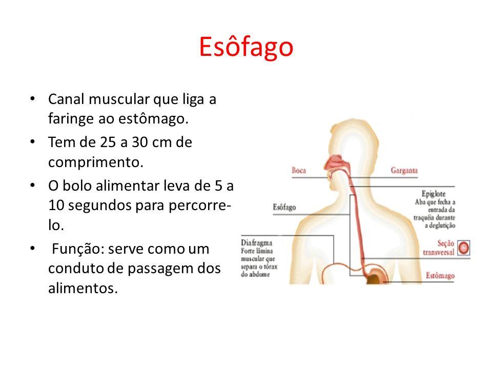 Esôfago Canal muscular que liga a faringe ao estômago.