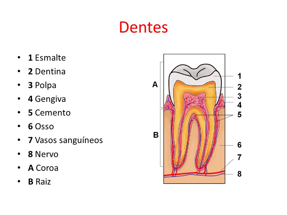 Dentes 1 Esmalte 2 Dentina 3 Polpa 4 Gengiva 5 Cemento 6 Osso