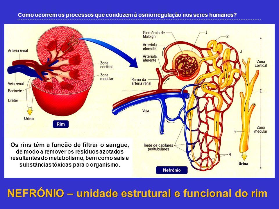 NEFRÓNIO – unidade estrutural e funcional do rim