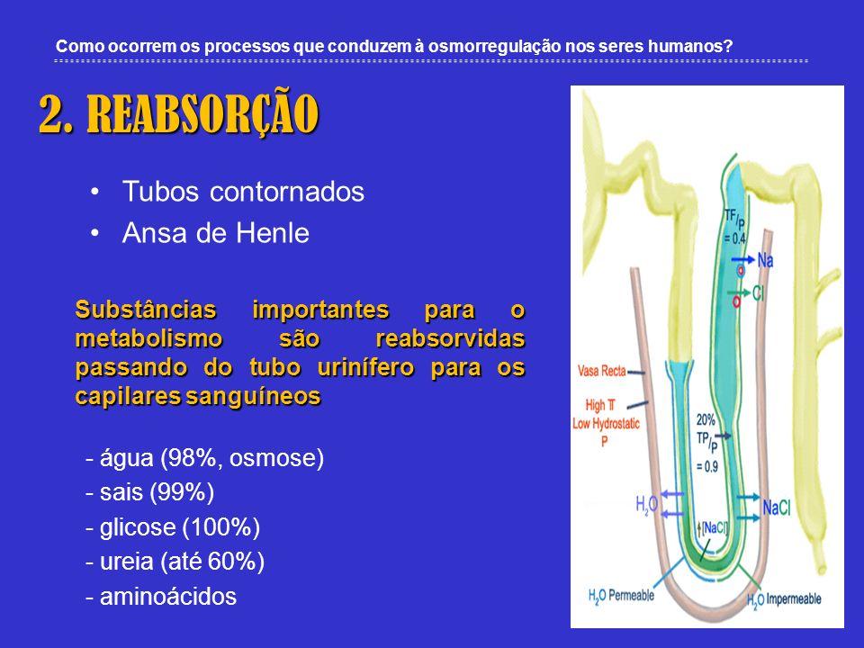 2. REABSORÇÃO Tubos contornados Ansa de Henle