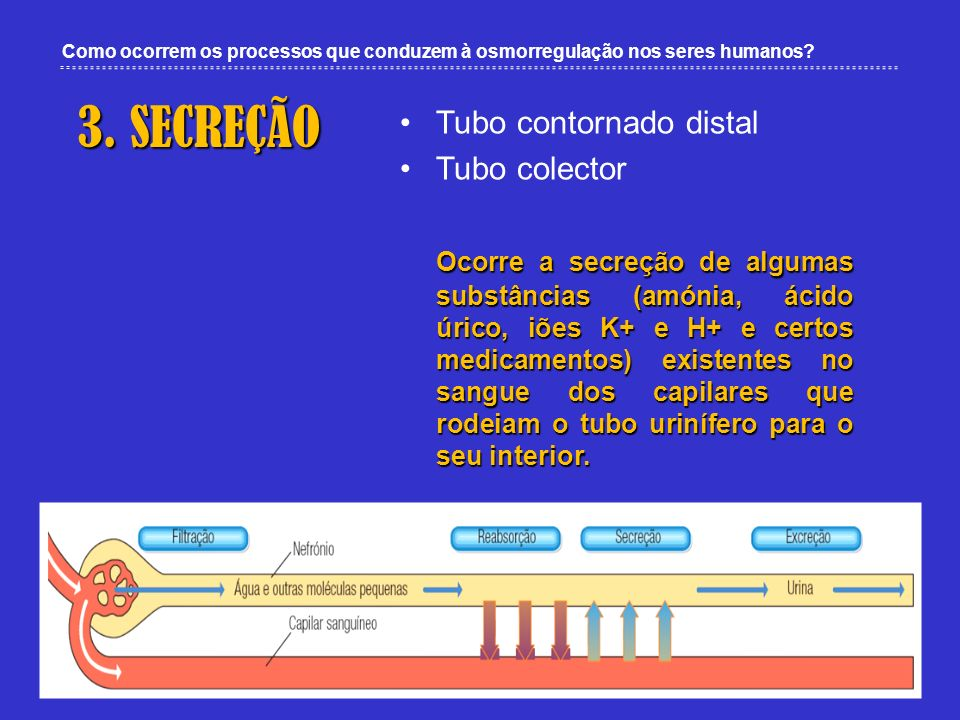 3. SECREÇÃO Tubo contornado distal Tubo colector