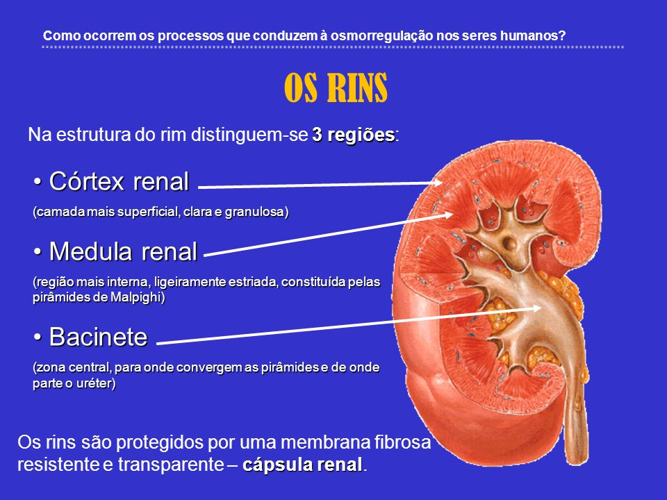 OS RINS Córtex renal Medula renal Bacinete