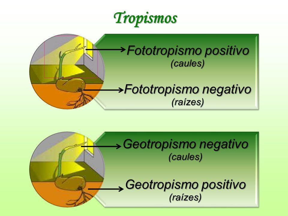 Tropismos Geotropismo negativo Fototropismo positivo (caules)