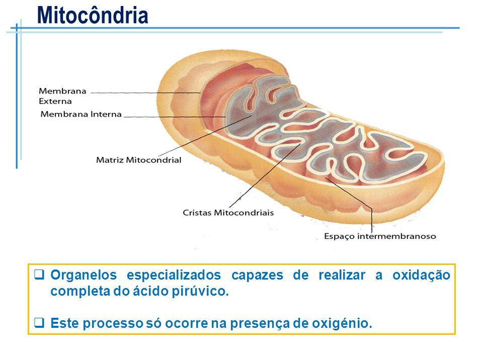 Mitocôndria Organelos especializados capazes de realizar a oxidação completa do ácido pirúvico.