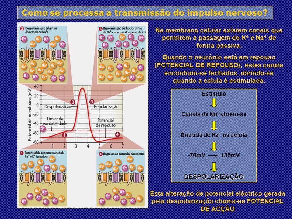 Como se processa a transmissão do impulso nervoso