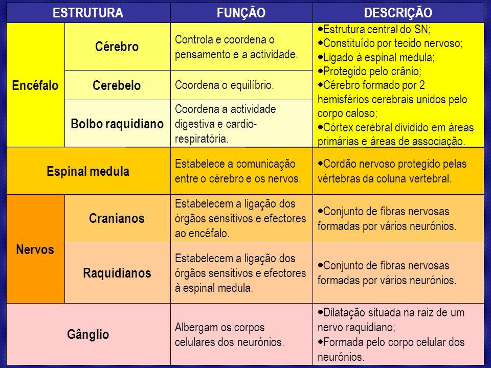 Gânglio Raquidianos Cranianos Nervos Espinal medula Bolbo raquidiano