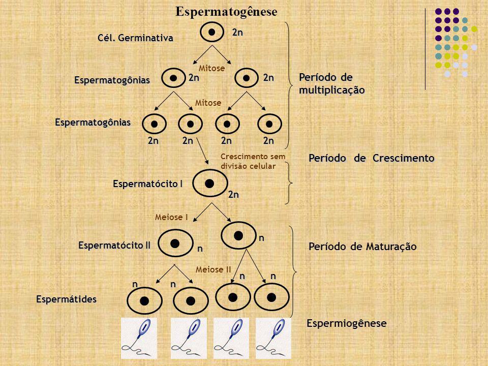 Espermatogênese Período de multiplicação Período de Crescimento