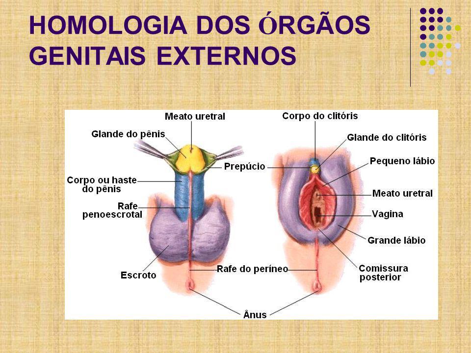 HOMOLOGIA DOS ÓRGÃOS GENITAIS EXTERNOS