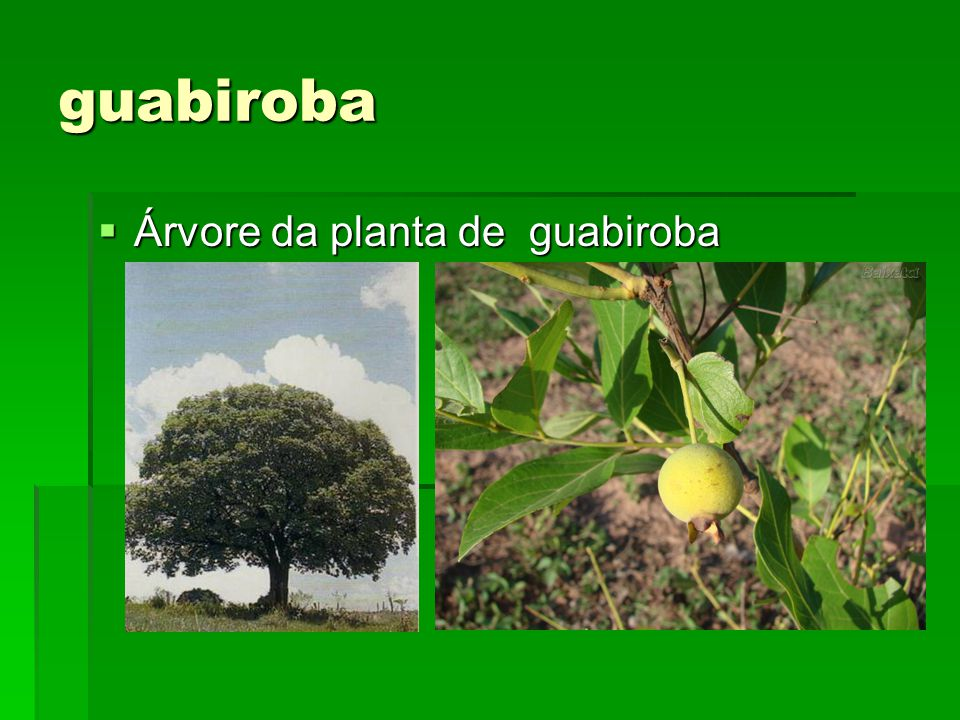 guabiroba Árvore da planta de guabiroba