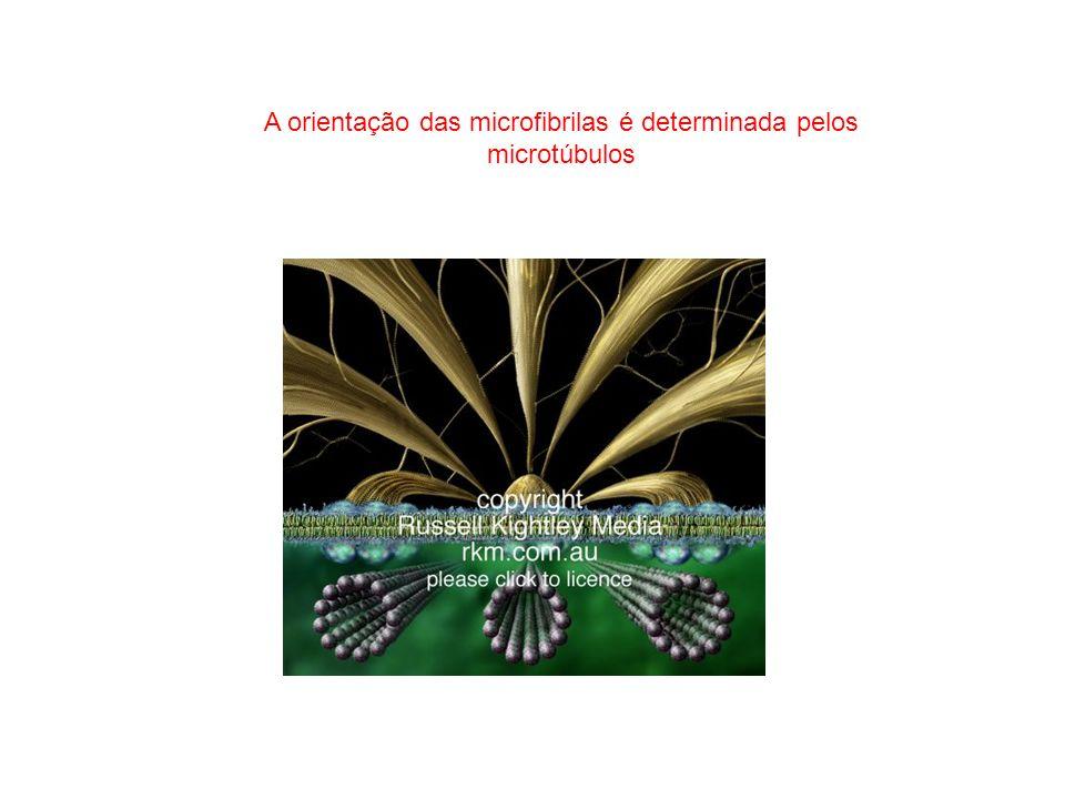 A orientação das microfibrilas é determinada pelos microtúbulos