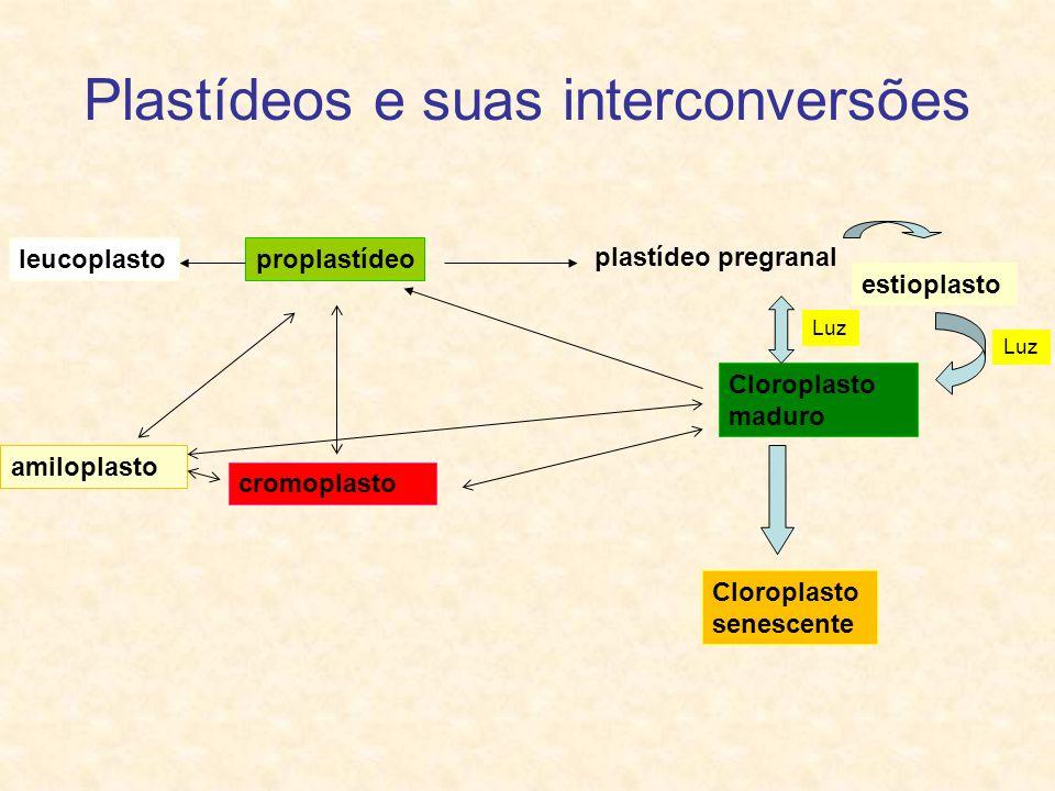 Plastídeos e suas interconversões