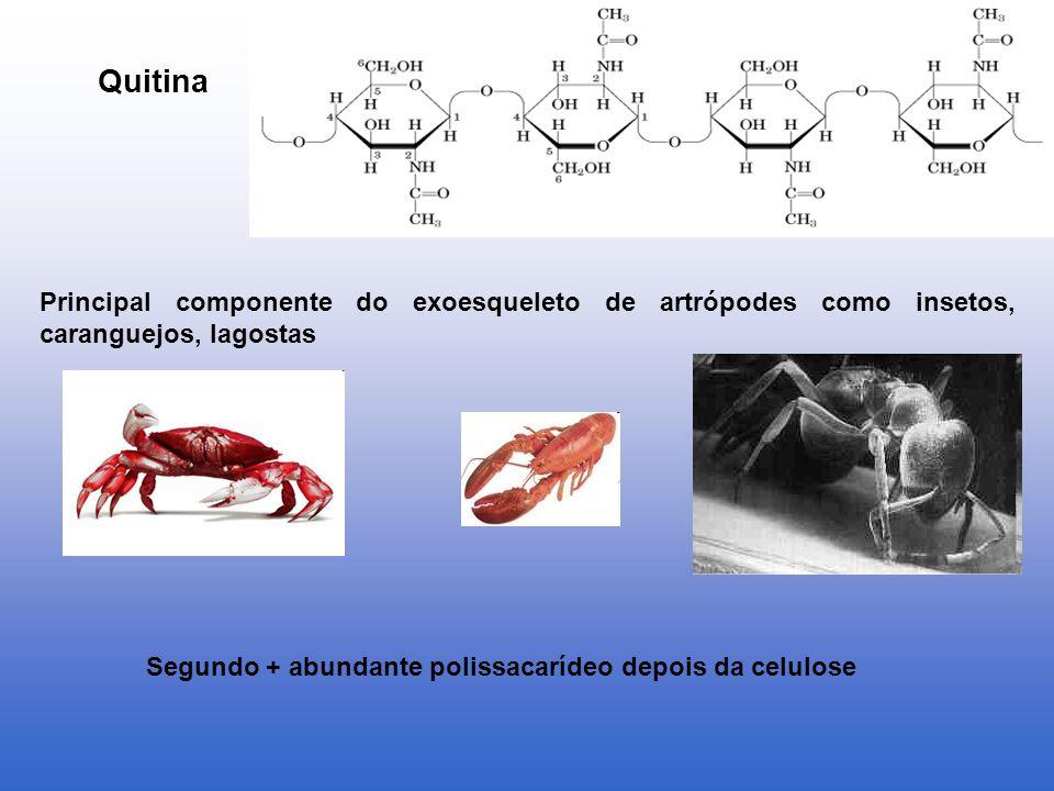 Segundo + abundante polissacarídeo depois da celulose