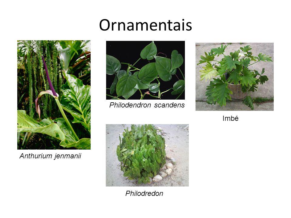 Ornamentais Philodendron scandens Imbé Anthurium jenmanii Philodredon