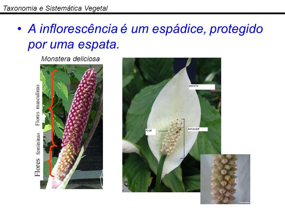 A inflorescência é um espádice, protegido por uma espata.