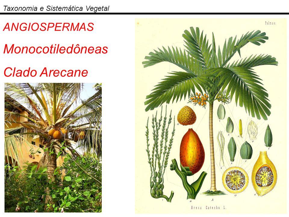 Monocotiledôneas Clado Arecane ANGIOSPERMAS