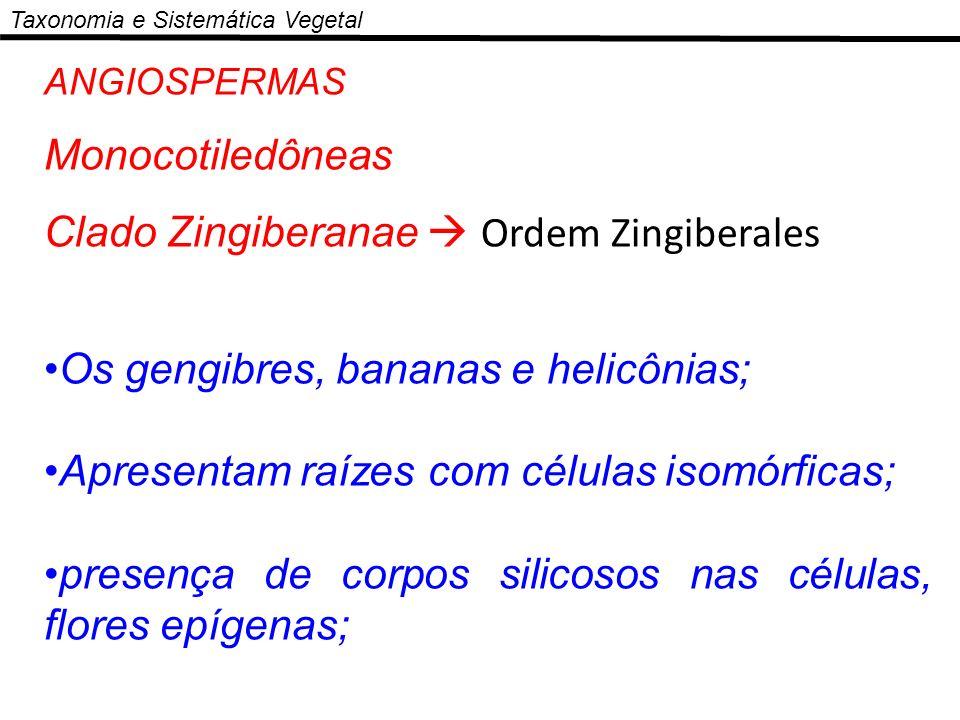 Clado Zingiberanae  Ordem Zingiberales