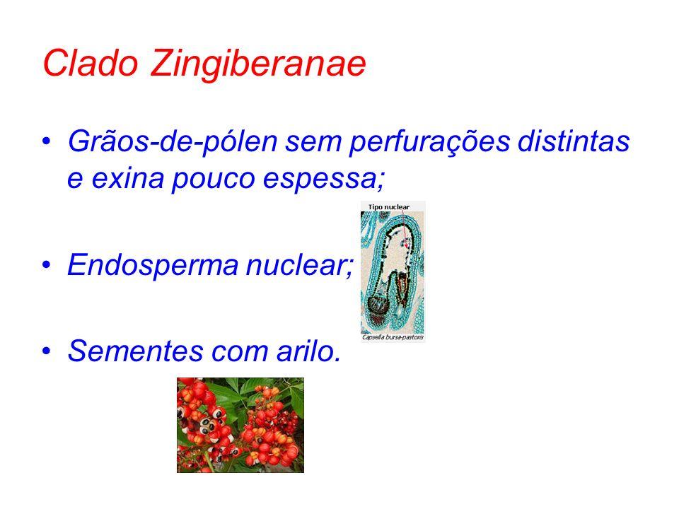 Clado Zingiberanae Grãos-de-pólen sem perfurações distintas e exina pouco espessa; Endosperma nuclear;
