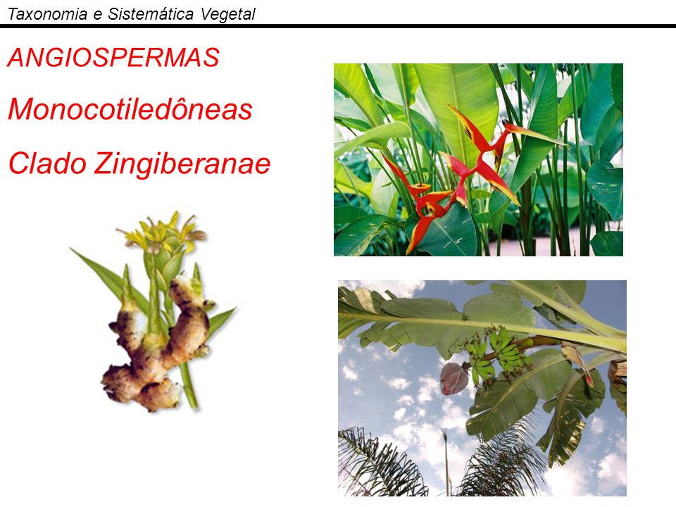 Monocotiledôneas Clado Zingiberanae ANGIOSPERMAS