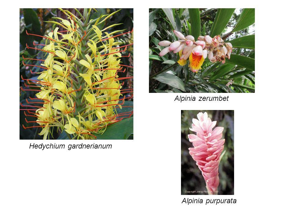 Alpinia zerumbet Hedychium gardnerianum Alpinia purpurata